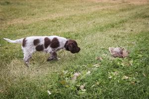 Black Tie Affair pointing a quail